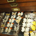 Drawer of insect speciments from Devon's Ilfracombe Museum