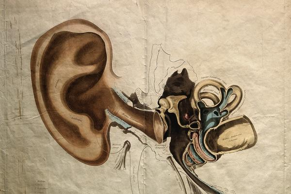 Anatomical drawing of an ear